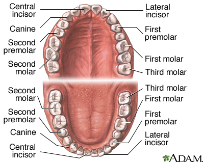 human teeth names and location